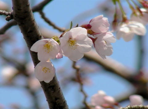 SAKURA 32 mov Cherry blossoms Stock Video Footage