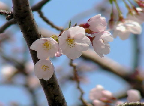 SAKURA 32 mov Cherry blossoms Footage