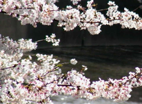 SAKURA 36 mov Cherry blossoms Stock Video Footage