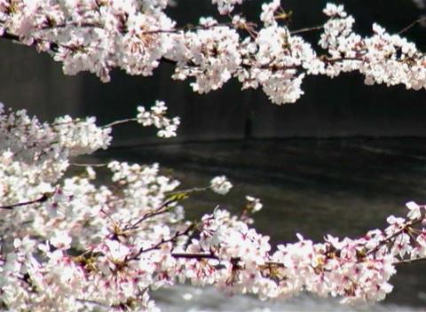 SAKURA 36 mov Cherry blossoms Stock Video Footage