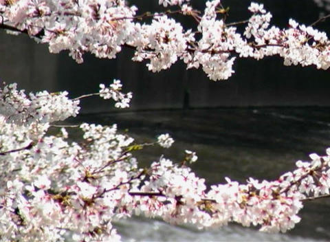 SAKURA 36 mov Cherry blossoms Footage
