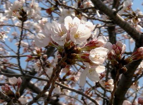 SAKURA 38 mov Cherry blossoms Stock Video Footage