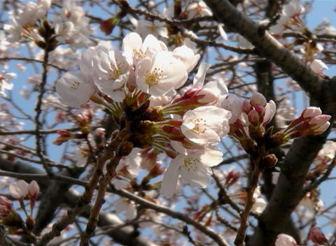 SAKURA 38 mov Cherry blossoms Footage
