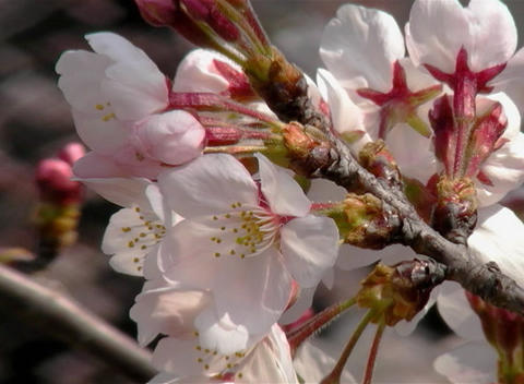 SAKURA 40 mov Cherry blossoms Stock Video Footage
