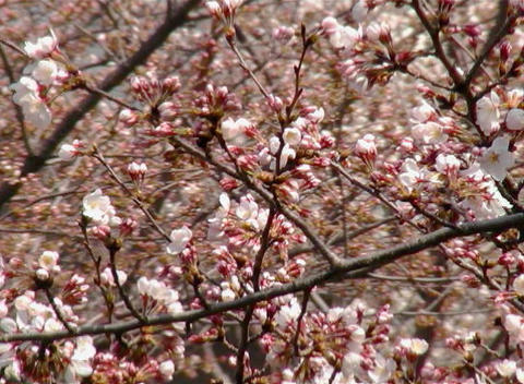 SAKURA 42 mov Cherry blossoms Stock Video Footage