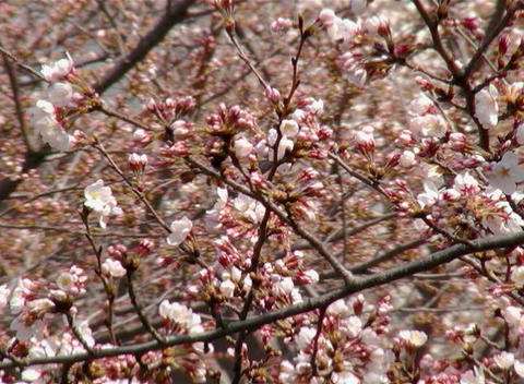 SAKURA 42 mov Cherry blossoms Footage