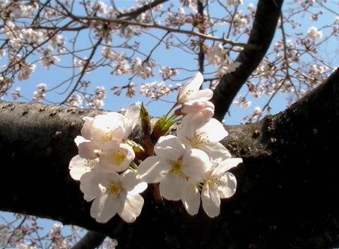 SAKURA 44 mov Cherry blossoms Stock Video Footage