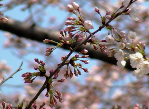 SAKURA 46 mov Cherry blossoms Footage
