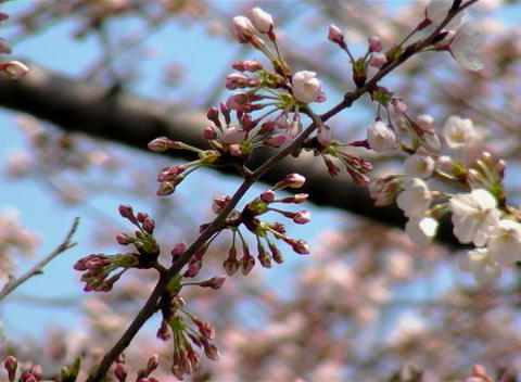 SAKURA 46 mov Cherry blossoms Stock Video Footage