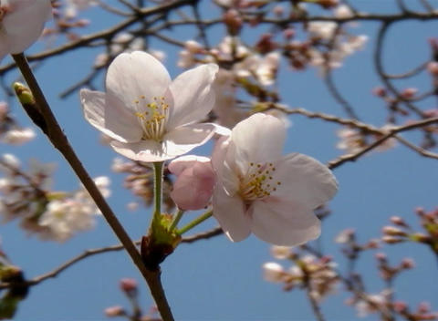 SAKURA 48 mov Cherry blossoms Stock Video Footage