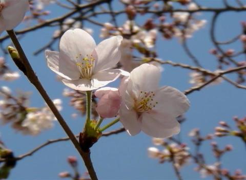 SAKURA 48 mov Cherry blossoms Stock Video Footage