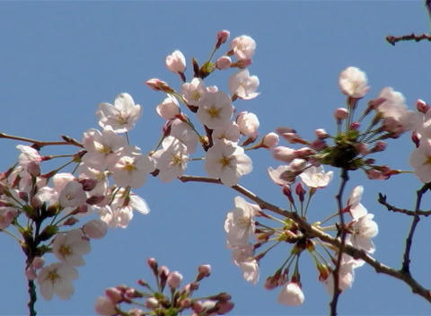 SAKURA 50 mov Cherry blossoms Stock Video Footage