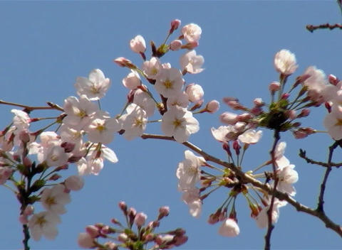 SAKURA 50 mov Cherry blossoms Footage