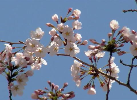 SAKURA 50 mov Cherry blossoms Footage