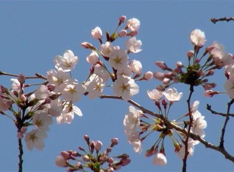 SAKURA 50 mov Cherry blossoms Stock Video Footage