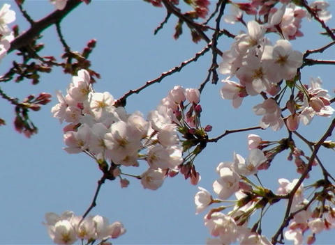 SAKURA 52 mov Cherry blossoms Stock Video Footage