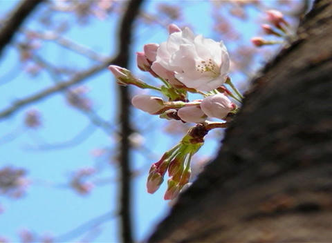 SAKURA 54 mov Cherry blossoms Stock Video Footage