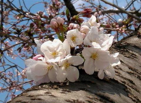 SAKURA 56 mov Cherry blossoms Stock Video Footage