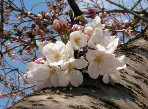 SAKURA 56 mov Cherry blossoms Stock Video Footage