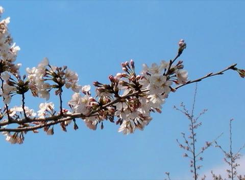 SAKURA 58 mov Cherry blossoms Stock Video Footage