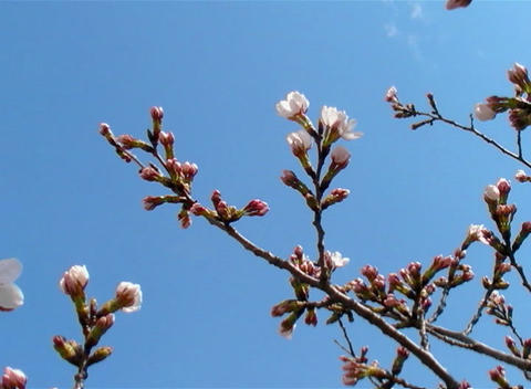 SAKURA 60 mov Cherry blossoms Stock Video Footage
