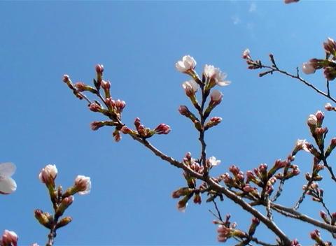 SAKURA 60 mov Cherry blossoms Stock Video Footage