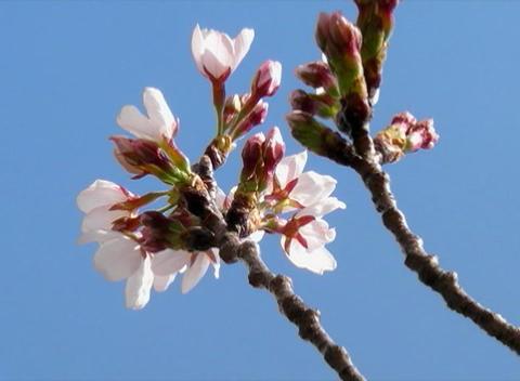 SAKURA 62 mov Cherry blossoms Stock Video Footage