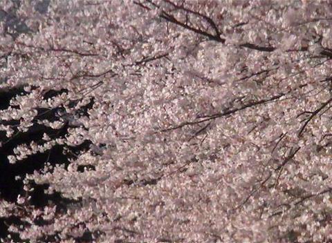 SAKURA 64 mov Cherry blossoms Stock Video Footage