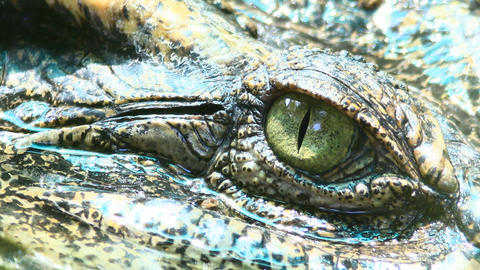 Siamese Crocodile Eye 1