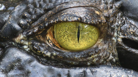 Siamese Crocodile eye Footage