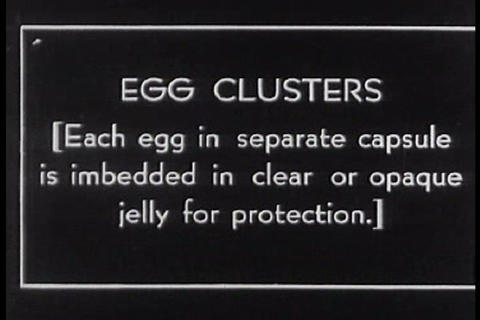 A sack of salamander eggs develops during the 1920 Footage