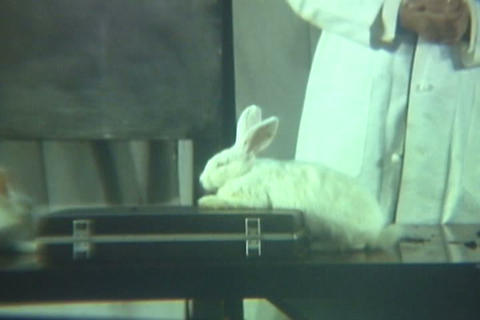 A Doctor Examines The Effects Of Drugs On Rabbits  stock footage