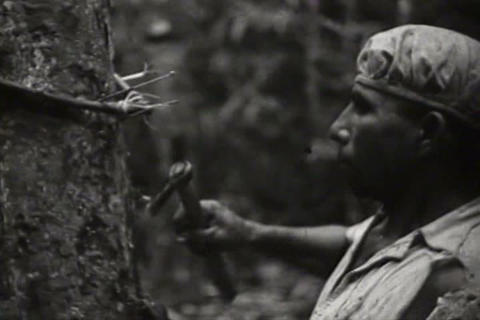 Harvesting rubber in the Amazon in 1941 Footage