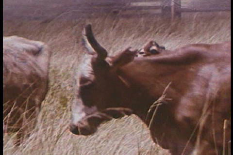 Texas cattlemen work in Texas in 1968 while paratr Live Action