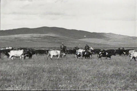 Men herd cattle across the Western States in 1934 Footage