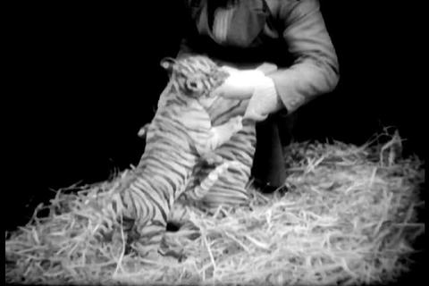 At the Dublin zoo, four orphaned tiger cubs make t Footage