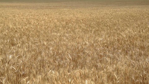 0316wheat field 7 Animation