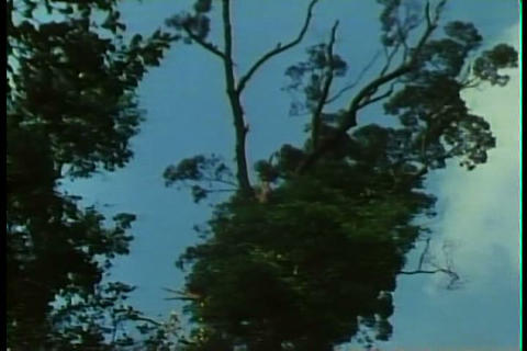 Forests are burned in the 1980s by natives Footage
