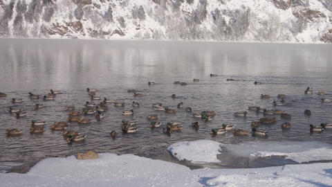 Ducks near the river shore 02 Footage