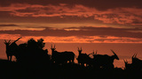 Eland Silhouetted At Sunrise stock footage