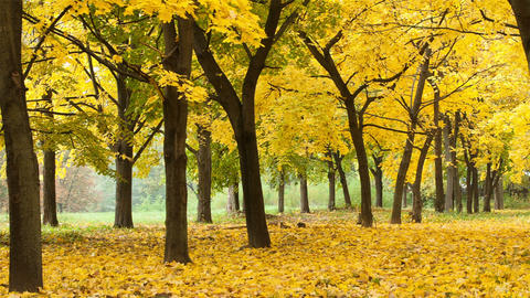 Yellow autumn forest timelapse Footage