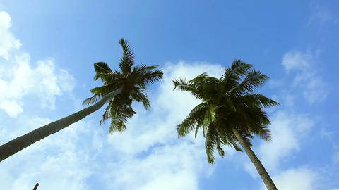 Coconut palm Footage