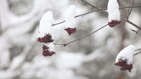 Snowy ashberry Footage