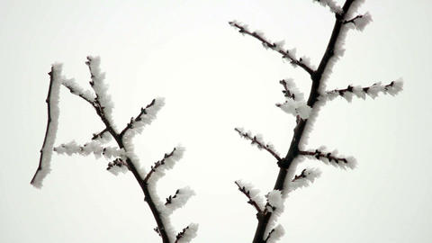 Branch in Hoarfrost Live Action