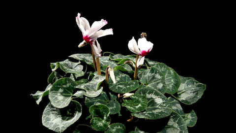 Flowering white cyclamen on the black background ( Footage