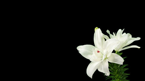 Blooming white lily flower buds ALPHA matte (Liliu Footage