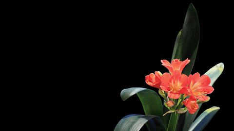 Growth of Clivia flower buds ALPHA matte, FULL HD Live Action