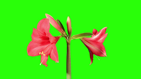 Growth of red hippeastrum flower buds green screen Footage