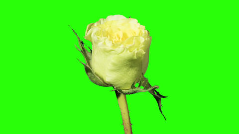 Blooming Green Roses Flower Buds Green Screen, FUL stock footage