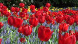 Bright red tulips and lavender Footage